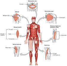 11 1 interactions of skeletal muscles their fascicle arrangement