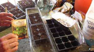 great herbs how to start cilantro indoors keep it sowing mfg