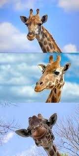 Meme Giraffe - giraffe funny meme daily funny memes