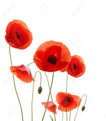 poppies flowers poppy flowers isolated on white background stock photo picture