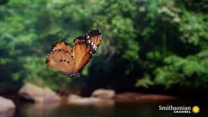 butterflies zigzag wildly for a reason smithsonian