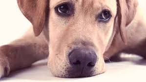 Temporary Blindness In Dogs Causes And Symptoms Of Meningitis In Dogs Petcarerx