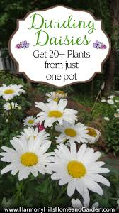 dividing daisies get 20 plants from one pot harmony hills home