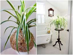 Spider Plant 9 Indoor Plants You Can U0027t Kill So Easily Atap Co