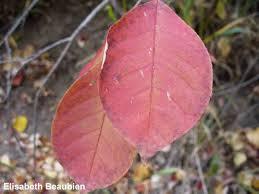 native plants in alberta choke cherry