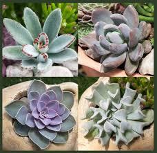 Succulent Plant Soft Succulents Tender Succulents Simply Succulents Exotic