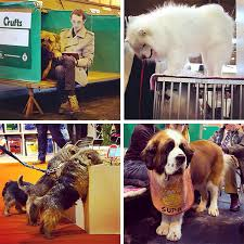 crufts australian shepherd 2014 crufts dog show 2014 notcot