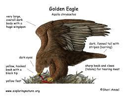eagle golden