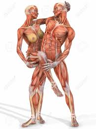 Anatomy Of Women Body Anatomy Of Males Females Female And Male Anatomic Body Couple