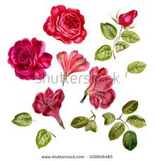 rose pink flower set watercolor hand stock illustration 528646465