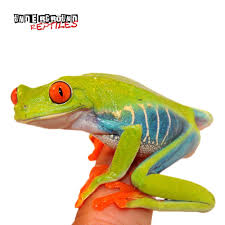 red eyed tree frogs for sale underground reptiles