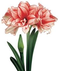 Amaryllis Flowers Christmas Flowering Double Amaryllis Amaryllis Flower Bulb Index