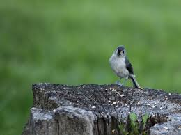pretty spring bird wildlife free nature pictures by