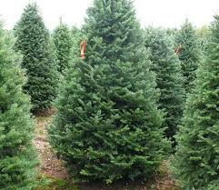 balsam fir christmas tree fresh cut christmas trees sw chicago suburbs kringle s tree factory