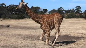 a giraffe sitting down youtube