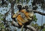 Image result for Propithecus diadema