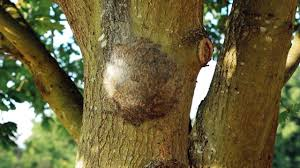 oak processionary moth tree pests and diseases