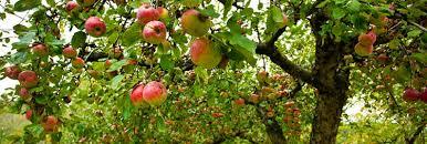 fruit trees vista growers