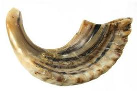 small shofar classical ram s horn shofar size d small