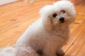 6 month old bichon frise for sale bichon frise dog breed information pictures characteristics