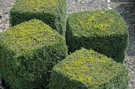 English Box Topiary - topiary cube ny pinterest buxus sempervirens buxus and