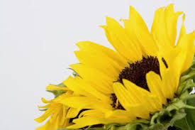 how to make your own sunflower oil leaftv