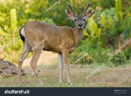 black tailed deer stag posing on stock photo 56025628