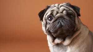8 must follow instagram accounts for pug lovers