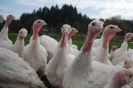 carolina lawmakers pasture raised turkeys to