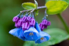 native plants of indiana bluebells madison indiana photography