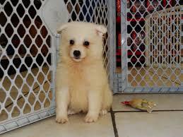 american eskimo dog adoption american eskimo puppies dogs for sale in nashville tennessee