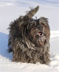 brindle cairn haircut brindle cairn haircut how to care for a cairn terriers coat pets
