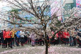 cherry blossom festival 2016 in halong halongbaytourism