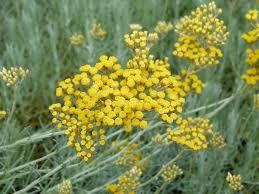 immortelle d italie cuisine helichrysum italicum serotinum hélichryse immortelle d italie