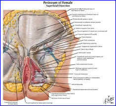 Perineum Anatomy Female Duke Anatomy Lab 7 Inguinal Region U0026 Gonads