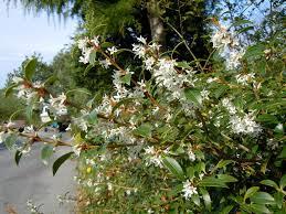 fragrant shrubs forum topic north american rock garden society