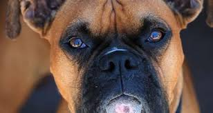 boxer dog health questions boxer dog breed information characteristics u0026 fun facts petcoach