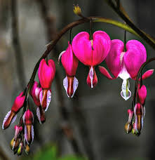 bleeding heart flower bleeding heart how to grow dicentra spectabilis the gardening cook