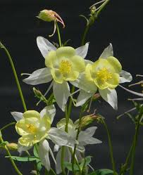 24 best native iowa plants images on pinterest native plants columbines plant care and collection of varieties garden org