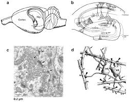 Anatomy Of Rat Brain Anatomical Position Of Mossy Fiber Synapses In The Hippocampal