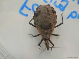 faq kissing bugs and chagas disease in the u s texas a u0026m