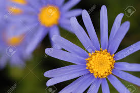australian native plants pictures petite blue flowers of australian native plant brachyscome