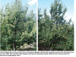 vigor and promotion of fruiting of pear trees fruit
