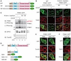 Flag Tag Dna Sequence Unconventional Pink1 Localization To The Outer Membrane Of