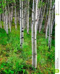 birch trees google search quilts pinterest paintings birch trees google search