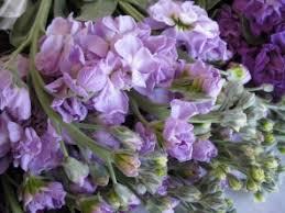 Discount Flowers Bulk Discount Flowers Lavender Stock Flower