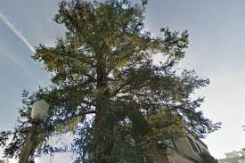 russian hill residents are fighting a redwood tree curbed sf