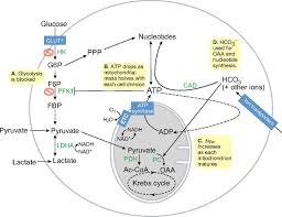 stem cell metabolism in tissue development and aging development