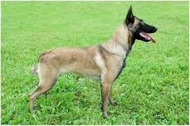 belgian malinois police belgian malinois facts pictures puppies temperament breeders