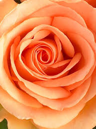 Peach Roses 846 Best Roses We Love Images On Pinterest Flowers Gardens And